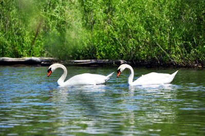 Parallel swans