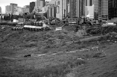 Dogs fighting at the far west side of the CityPlace construction area