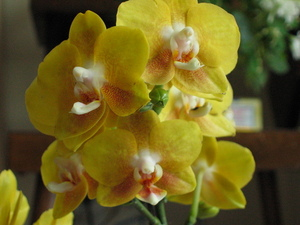 Orchid, Yellow